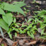 Mit der Ernte der Knospe verhindern wir, dass sich der Bärlauch über die Samenbildung weiter verbreitet. Im Bild zu sehen ist ein Teil meines Beetes, in welchem ich im Jahr zuvor die Bärlauchzwiebeln entfernt habe. Bereits im darauffolgenden Jahr spriessen durch die Samen wieder einjährige, kleine Bärlauchblättchen.