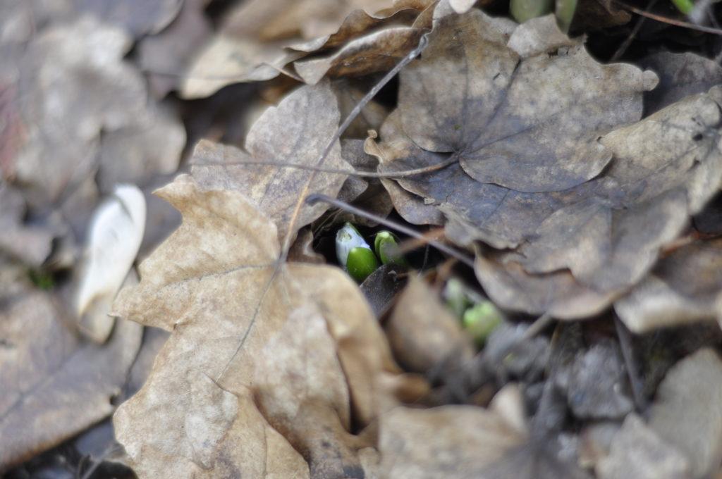auch die Blausterne kämpfen sich durch die Blätterdecke.