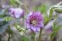 """Die wunderbare """"Lili"""" Schneerose ist seit zwei Jahren im Garten zu hause."""