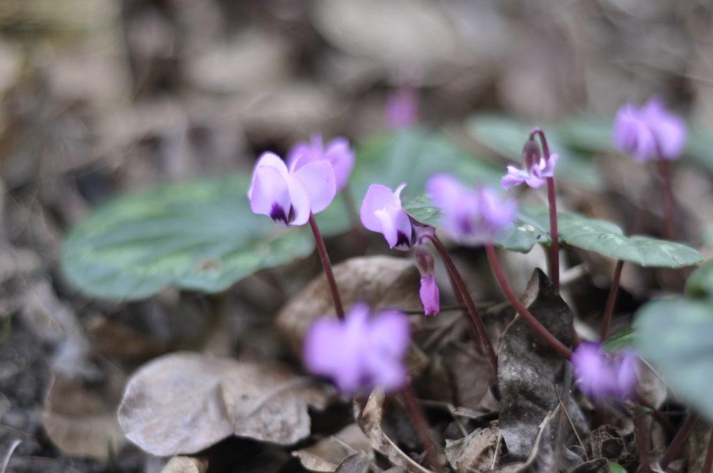 Ein kleines Spektakel für das Herz: die Alpenveilchen trotzen jedem Wetter!