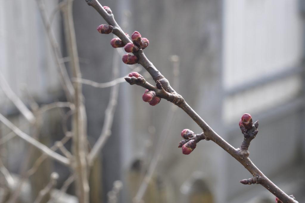 Ebenso sind die vorwitzigen Aprikosenblüten noch geschlossen.