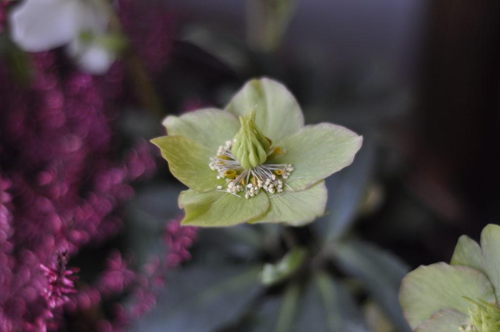 Neben neuen Blüten beginnen die abgeblühten Christrosen nun mit der Bildung der Samen.
