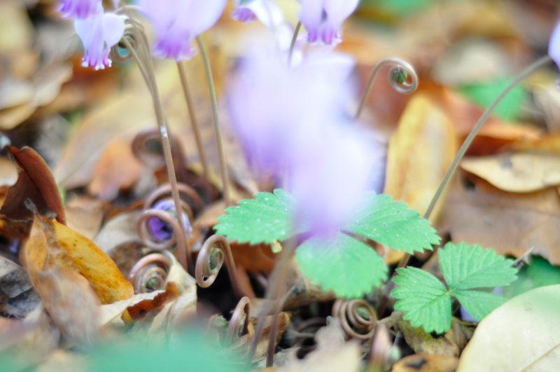 Alpenveilchen, hier die befruchteten Blütenstände, die den Samen durch zusammenkringeln in Bodennähe bringen
