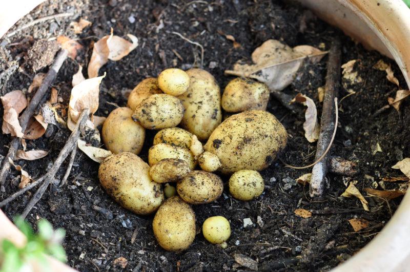 Meine Kartoffelernte im kleinen Topf