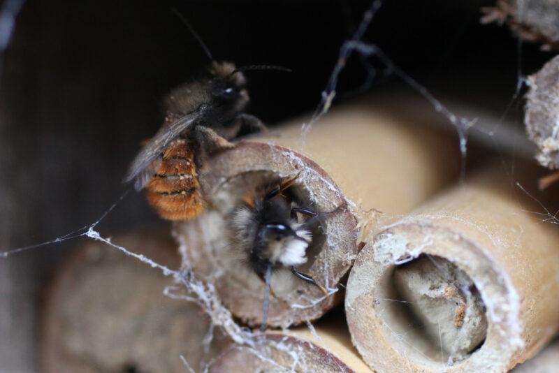 Frühlingsstart mit der gehörnten Mauerbiene! 2