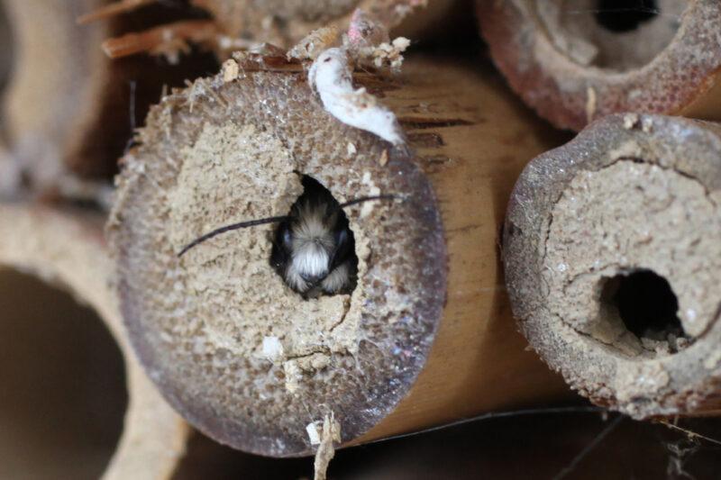 Frühlingsstart mit der gehörnten Mauerbiene! 1
