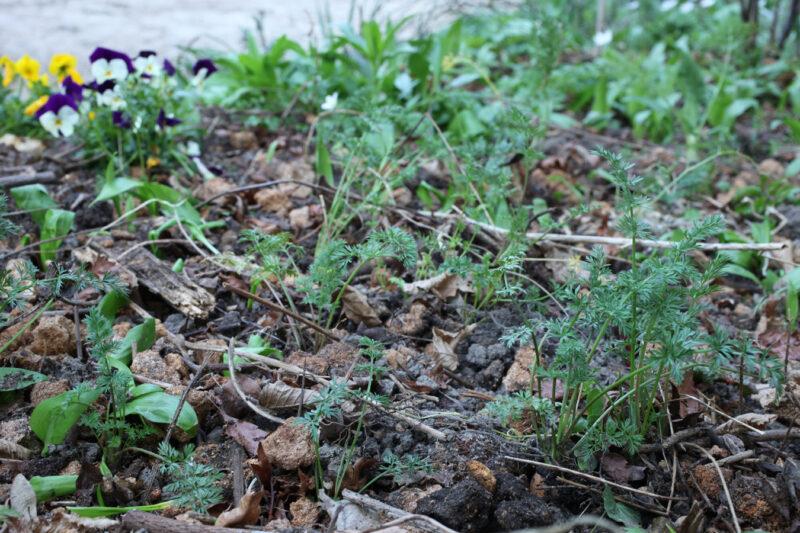 Gemüsezierpflanzen 2