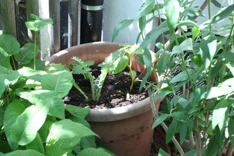 Setzlinge gepflanzt 16