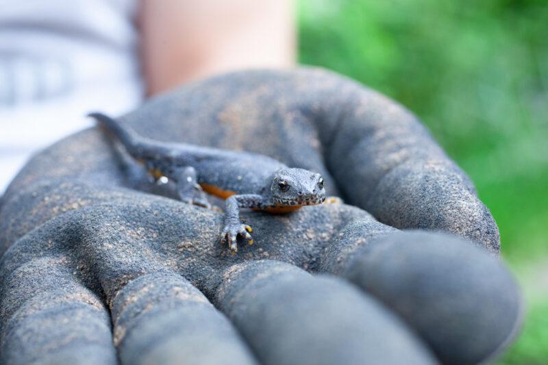 Salamander 12
