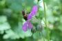 Storchschnabel für die Bienen