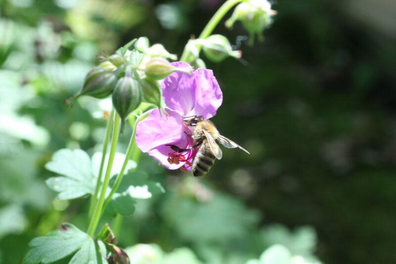 Storchschnabel für die Bienen 5