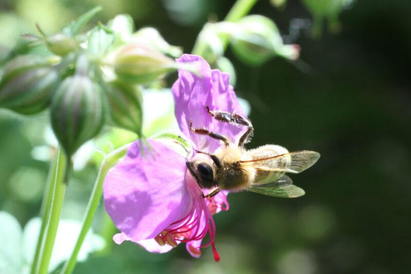 Storchschnabel für die Bienen 6