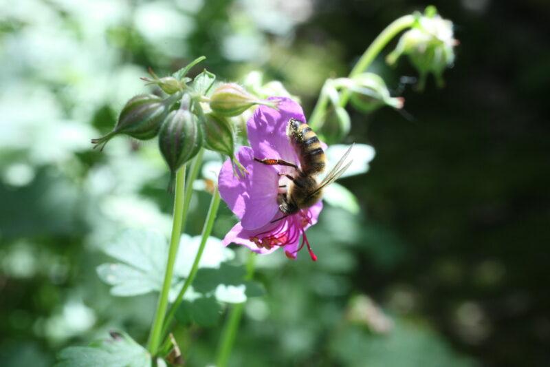 Storchschnabel für die Bienen 3